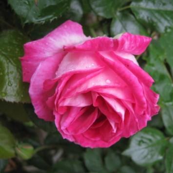 Ruže i ružičnjaci