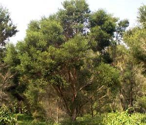 Čajevac (Melaleuca alternifolia)Fitoaromaterapija i etericna ulja u zimskim mjesecima