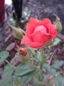 Bolesti ruža