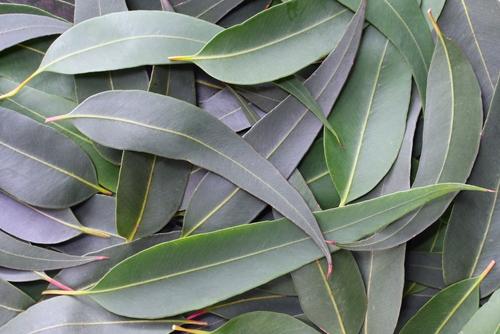 Eucalyptus-Fitoaromaterapija-i-etericna-ulja-u-zimskim-mjesecima
