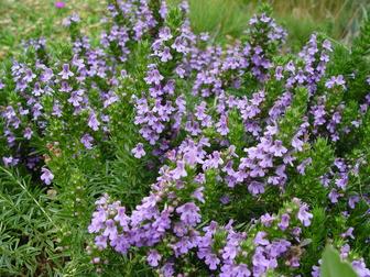 Primorski vrisak (Satureja montana)-Fitoaromaterapija i etericna ulja u zimskim mjesecima